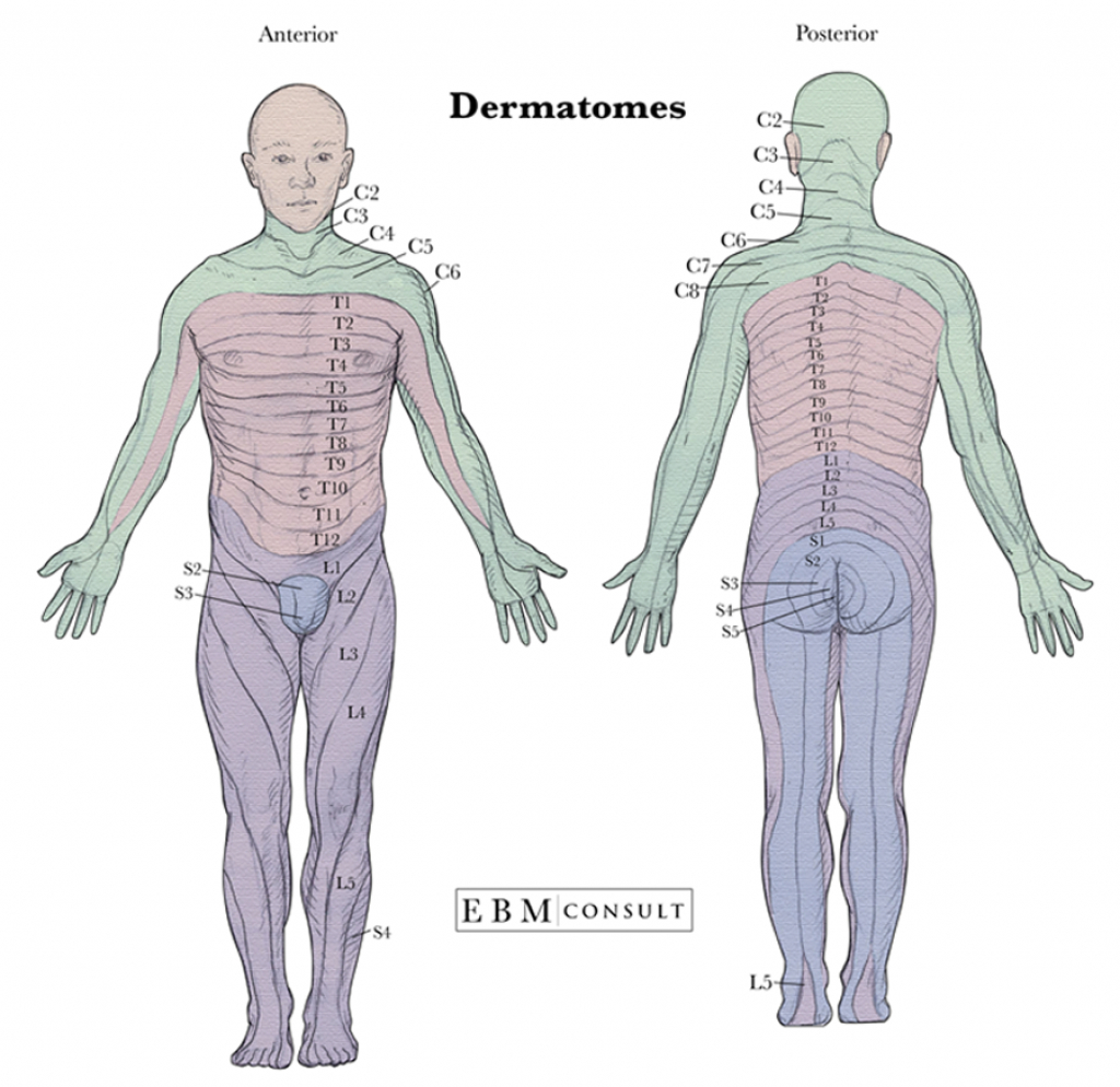 Anatomy: Dermatomes Full Body Anterior Posterior Image intended for Printable Dermatome Map