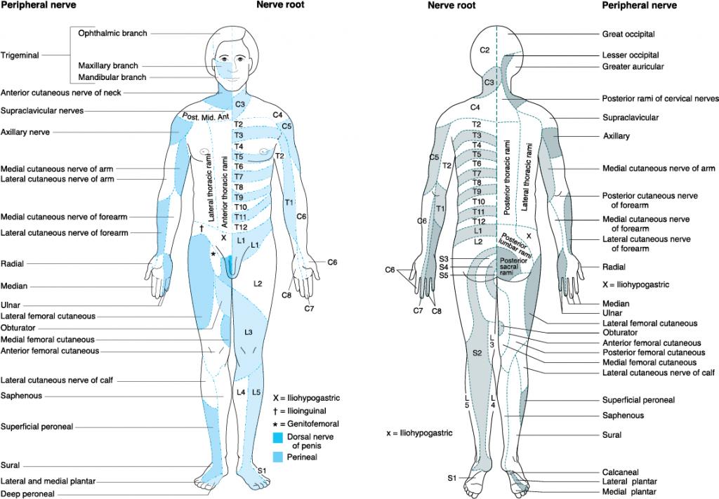 Blank Dermatome Map throughout Printable Dermatome Map