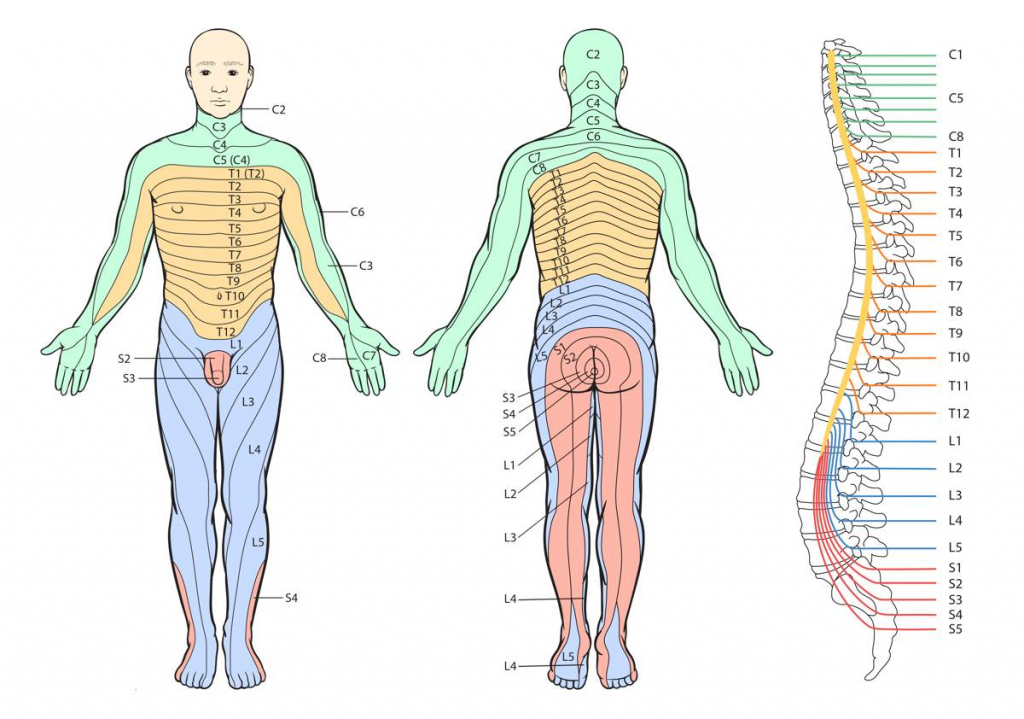 Printable Dermatome Chart - Total Life Care Compounding in Printable Dermatome Map